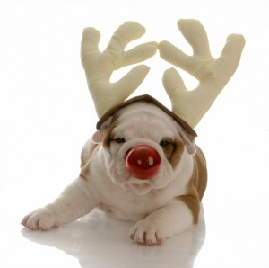 english bulldog with red nose dressed as