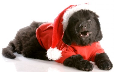 laughing newfoundland puppy wearing santa coat and