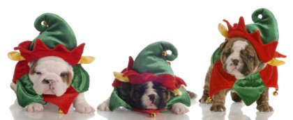 santas helpers three english bulldog puppies dressed up as