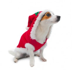 young jack russel wearing santa claus dress